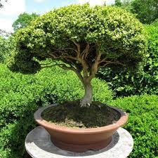 Resultado de imagem para bonsai de uva