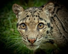 Clouded Leopard by ZeroPix Photography, via 500px