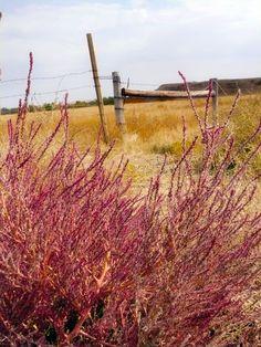 purple autumn in South Dakota