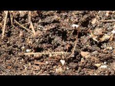 ALLPE Medio Ambiente Blog Medioambiente.org : Ver a una semilla perforar el suelo