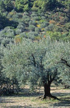 Terre Nature, Exterior Color Palette, Olives, Agriculture, Mediterranean Garden, Olive Gardens, Provence France, Botanical Flowers, Olive Tree