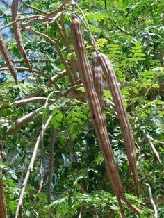 50 Pcs Rare Moringa Oleifera Seeds Plants Seeds Drumstick Tree Thailand Non-GMO Bonsai Pot Garden