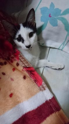 This is Shinchan. He likes to get under the covers whenever it rains and its been quite rainy recently. by frostedmelodies06 cats kitten catsonweb cute adorable funny sleepy animals nature kitty cutie ca