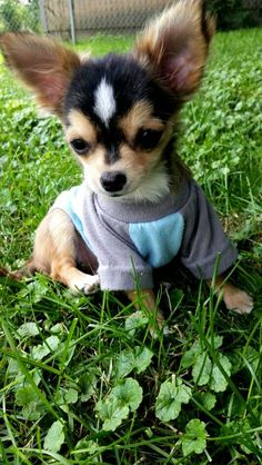"""♥ <a href=""""http://Yuppypup.co.uk"""" rel=""""nofollow"""" target=""""_blank"""">Yuppypup.co.uk</a> provides the fashion conscious with stylish clothes for their dogs. Luxury dog clothes and latest season trends, Dog Carriers and Doggy Bling. . Please go to <a href=""""http://www.yuppypup.co.uk/"""" rel=""""nofollow"""" target=""""_blank"""">www.yuppypup.co.uk/</a>-.-"""