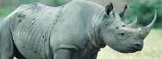 Nairobi, (EFEverde).- La caza furtiva ha acabado con la vida de 633 rinocerontes en Sudáfrica en lo que va de año, una media cercana a dos de esos animales muertos al día, informó el Departamento de Medio Ambiente (DMA) del Gobierno sudafricano.