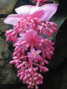 """Medinilla magnifica """"Malaysian Orchid"""""""
