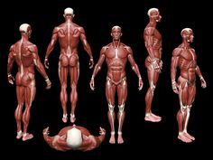 Anatomy Reference - Anatomical figure from multiple angles showing the muscles. Human Anatomy For Artists, Human Anatomy Drawing, Human Body Anatomy, Muscle Anatomy, 3d Anatomy, Anatomy Study, Body Reference, Anatomy Reference, Art Reference