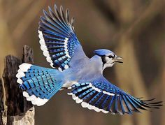 BLUE JAY in flight (Cyanocitta cristata) ©Jim Ridley The Blue Jay is a bird native to North America. Description from pinterest.com. I searched for this on bing.com/images