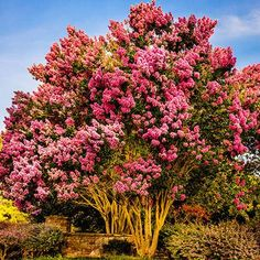 Vibrant Pink Blooms From Summer to Fall - With cold hardy Sioux Crape Myrtles your landscape will never have to be without color, especially in the summer when their dark pink flowers enter a continuous blooming cycle that lasts into the fall. By being cold tolerant to growing zone 6 and with the ability to thrive under heavy layers of...