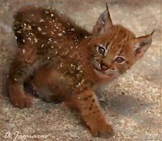 Oh, Hi! I'm just a baby lynx, being the cutest thing in the world.