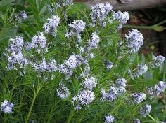 Bluestar amsonia hubrichti planted one in my stonewall bed on 7/4/14.