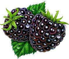 Blackberries Two by Judy Unger Watercolor Fruit, Fruit Painting, Fruit Illustration, Botanical Illustration, Fruit And Veg, Fruits And Veggies, Image Fruit, Garden Labels, Fruits Images