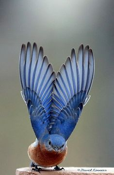 Bluebird outstretched wings