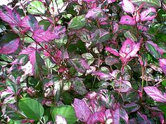 hibiscus variegated - Google Search