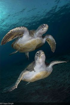 Sea Turtles by Fillipo Borghi Land Turtles, Sea Turtles, Sea Turtle Wallpaper, Scuba Diving Tattoo, Underwater Sea, Tortoise Turtle, Dangerous Animals, Turtle Love, Rare Animals