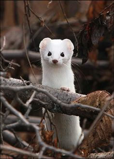 Stoat – the stoat (Mustela erminea), also known as the short-tailed weasel, is a species of Mustelidae native to Eurasia and North America. The name ermine is often, but not always, used for the animal in its pure white winter fur coat.
