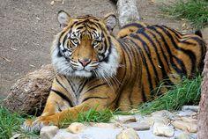 Indah, Sumatran tigress - Posing For The Camera | by greekgal.esm