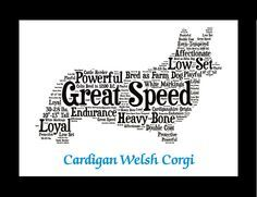 Traits of the Cardigan Welsh Corgi The Cardigan Welsh Corgi was brought from central Europe to Cardiganshire, South Wales. In a time when the land available to tenant farmers was determined by how muc