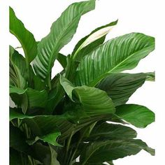 """Delray Plants Spathiphyllum Sweet Pablo in 10"""" Pot"""