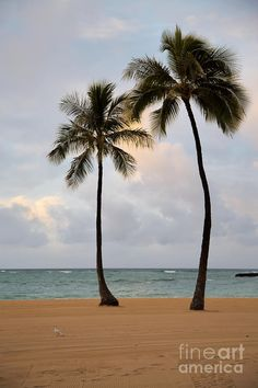 Gossips - 2 Palms on Waikiki Beach, Oahu, Hawaii