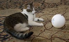 "Larry the ""10 Downing Street"" cat plays with the Dementia Friends bauble"