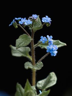 Blue great forget-me-not plants. It has large green silver-colored leaves. Cut off the flower stems after blooming so the beautiful leaves… Forget Me Not, Green Garden, Jack Frost, Planting Flowers, Dandelion, Bloom, Plants, Colored Leaves, Instagram