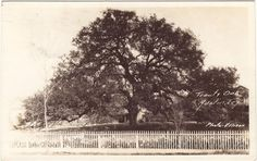 The Treaty Oak - A once-majestic Southern Live Oak, it is the last surviving member of the Council Oaks; a grove of 14 trees that served as a sacred meeting place for Comanche and Tonkawa Tribes. Foresters estimate the Treaty Oak to be about 500 years old. Before it was poisoned by vandals, the tree's branches had a spread of 127 feet. The surviving 2/3 of this historic tree is located in Treaty Oak Park on Baylor Street (between 5th and 6th Streets) in the West Line Historic District.