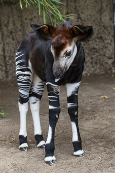 sdzoo - Although they bear a resemblance to zebras, okapis are actually the onl. - sdzoo – Although they bear a resemblance to zebras, okapis are actually the only living relative - Unusual Animals, Rare Animals, Cute Baby Animals, Animals Beautiful, Funny Animals, Strange Animals, Okapi, Tier Fotos, African Animals