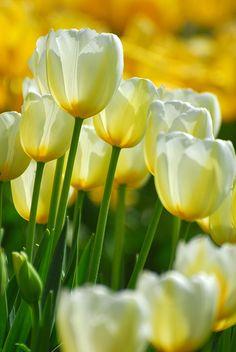 White & Yellow Tulips
