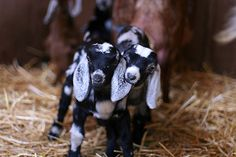 "Baby goats arrive at ""Urban Farm Handbook"" author Annette Cottrell's farming oasis"