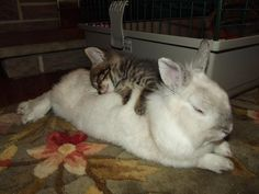 If that little bun were a baby, we'd be lookin' at two nappin' kittens*. | 23 Bunnies Snoozin'