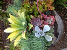 Great barrel recycled into succulent container.