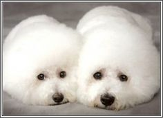 4 Dogs Puppy Puppies Bichon Frise Greeting Notecards/ Envelopes Set. $6.99, via Etsy.