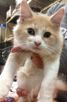 Iain is a very sweet kitten looking forThe adoption fee includes FeLV/FIV testing, FVRCP (distemper) vaccines appropriate for the age and rabies vaccine. Spay or neuter is also included and is a requirement for final adoption. Additional vaccines...