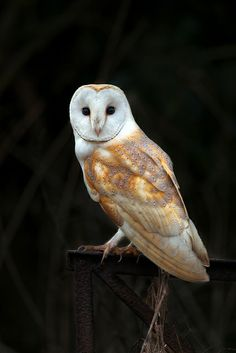 }{ Barn Owl on post - by Nigel Pye Owl Meaning - Learn how to correctly/intuitively connect and understand the Owl totem. There are thousands of resources to divine proper meanings.me/owl-meanings Beautiful Owl, Animals Beautiful, Cute Animals, Owl Bird, Pet Birds, Lechuza Tattoo, Nocturne, Tyto Alba, Owl Photos