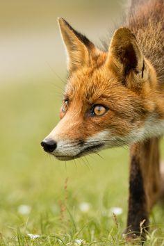 Red Fox by Mario Valkenborg on Red Fox Pictures, Animal Pictures, Animal Sketches, Animal Drawings, Taxidermy Fox, Fox Squirrel, Foxes Photography, Fox Head, Fox Art