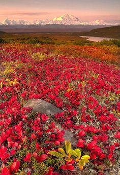 Fall in Denali National Park, Alaska. Denali National Park and Preserve encompasses 6 million acres of Alaska's interior wilderness. All Nature, Amazing Nature, Beautiful World, Beautiful Places, Beautiful Gorgeous, Alaska Travel, Alaska Usa, Denali Alaska, Alaska Trip