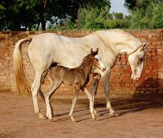 Marwari mare and foal. photo: Manu Sharma.  The Marwari or Malani is a rare breed of horse from the Marwar region of India. Known for its inward-turning ear tips, it comes in all equine colours, although pinto patterns tend to be the most popular with buyers and breeders.