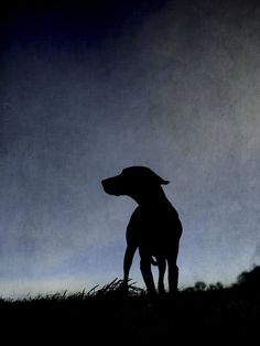 Silhouette Photography, Dog Photography, Color Photography, Dog Lover Gifts, Dog Gifts, Dog Lovers, Black And White Dog, White Dogs, Vizsla Dog