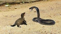 King Cobra Vs Mongoose | Big Battle In The Desert