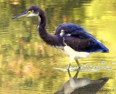 Tri-Colored Heron (birds water wild+animals ). Photo by llpj04