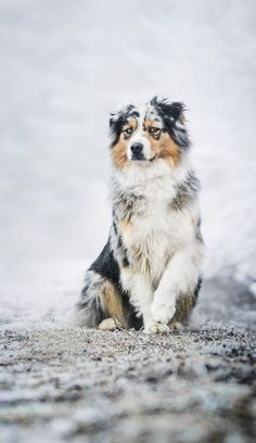 The Australian Shepherd: An Intelligent and Energetic Family and Working Dog What do you call a herding dog that originates in the Western United States? Why, an Australian Shepherd, of course! Aussie Shepherd, Australian Shepherd Puppies, Aussie Puppies, Cute Dogs And Puppies, Australian Shepherds, Doggies, German Shepherds, Blue Merle Australian Shepherd, Australian Dog Breeds