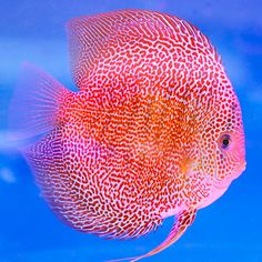 Penang Eruption This strain is an improved version of the Leopard SnakeSkin. Albino Rabbit, Acara Disco, Glass Aquarium, Discus Fish, Freshwater Aquarium Fish, Beautiful Fish, Cichlids, Saltwater Fishing, Tropical Fish