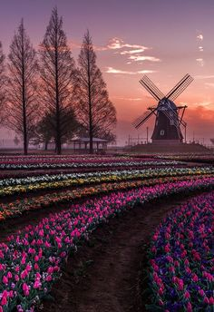 A field of tulips at sunset.
