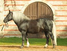 flaxen liver chestnut - Black Forest Horse stallion Modus