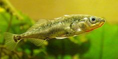 three spined stickleback