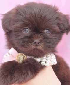 Adorable Shih Tzu Puppies - love the color!