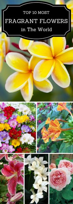Top 10 of the most fragrant flowers in the world.