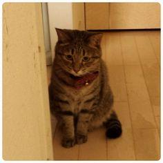 「人間どもがご飯中にテーブルにのぼり、かなり怒られしょぼーんとなってるうめぴん  #ねこ #猫 #neko #cat #キジトラ」
