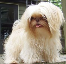 Keeper...an Imperial Shih Tzu ♥. It looks like a mini abominable snowman!! #persiancatgrooming